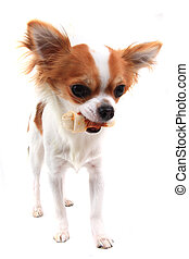 small chihuahua is eating dog snack