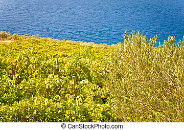 Vineyard and olive plantage by the sea, Brac island, Croatia