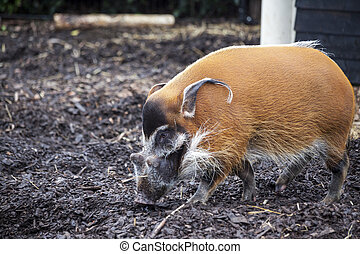 Large male bush pigs looking for edible roots going into the...