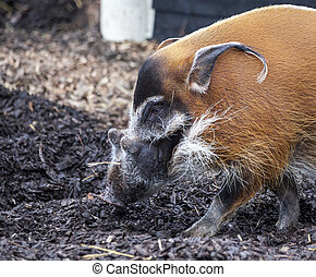 Muzzle boar closeup.Large male bush pigs looking for edible...