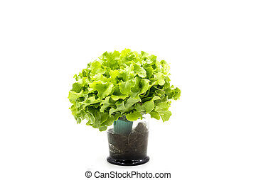 Top view of Salad leaves,Green Oak - Salad leaves with Green...