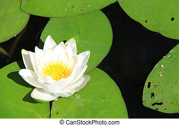 White water lily on calm pond surface