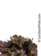 Salad leaves, Baby Red Romaine Lettuce - Salad leaves with...