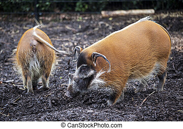 Family of pigs closeup.Large male bush pigs looking for...