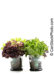 Salad leaves in glass - Salad leaves with Green Oak, Red...