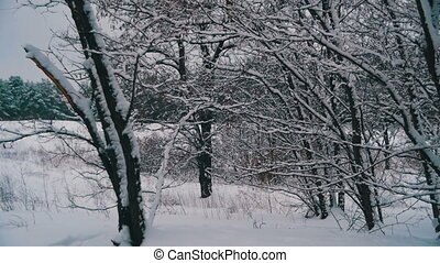 Snow Falling from the Snow-Covered Tree Branches in Winter...