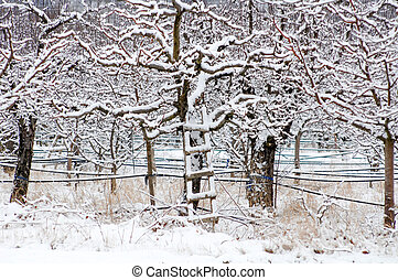Apple orchard covered with snow