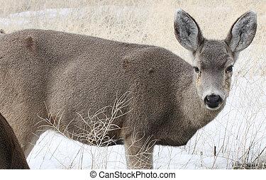 Mule Deer @ Lower Klamath NWR - Mule Deer. Photo taken at...