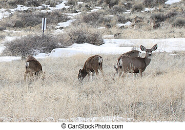 Mule Deer Lower Klamath NWR - Mule Deer Photo taken at Lower...
