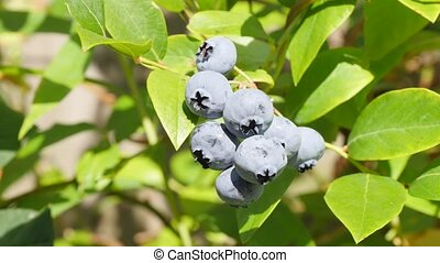 Male hand picking single blueberry summer - Caucasian male...