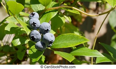 Blueberry moving by wind on branch