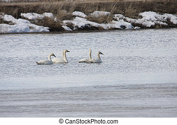 Tundra Swan @ Lower Klamath NWR - Tundra Swan. Photo taken...