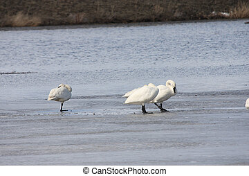 Tundra Swan Lower Klamath NWR - Tundra Swan Photo taken at...