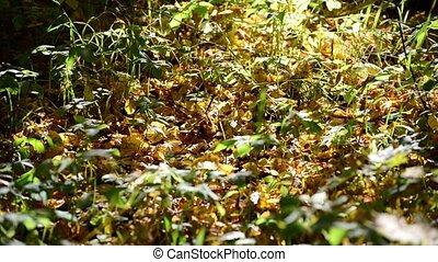 Yellow fallen leaves lying on ground - Yellow fallen leaves...