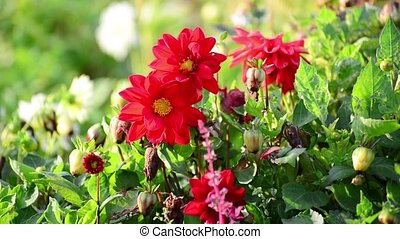Red dahlia on flowerbed on sunny day - Red dahlia on...