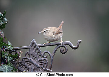 Wren, Troglodytes troglodytes, single bird on fence,...