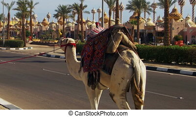 Camel go along the Road in a Tourist Place near the Market