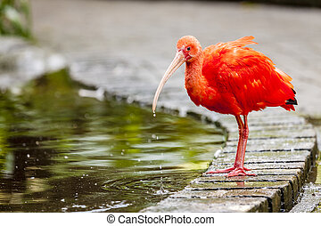 Red Ibis at a bird sanctuary near Plettenberg Bay, South...