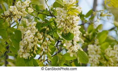 acacia tree flowers blooming in the spring on the branches -...