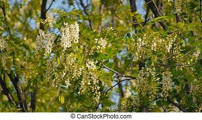 Beautiful flowers blooming acacia closeup - the wind rustles...