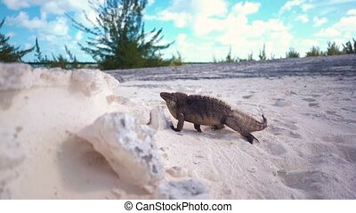 Marine iguana and Bank