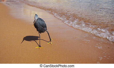 The Reef Heron Hunts for Fish on the Beach of the Red Sea in...