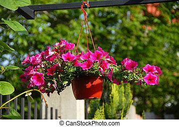 Pink petunias - pink petunias blooming in flowerpot outdoor...