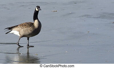 Goose Walks Frozen Lake Ferril City Park Denver - This goose...