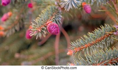 Young pink cones on the pine tree branches closeup