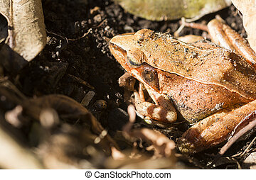 Brown frog sleeping