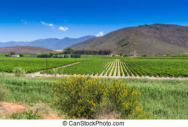 Vineyard of grape vines close to Montague, Western Cape in...
