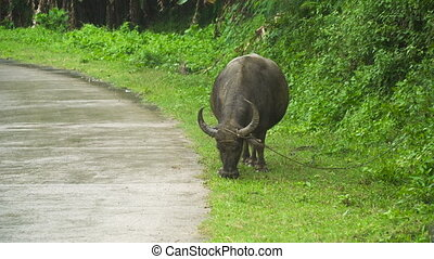 Bull eating grass. - Bull grazing near a rural road and eats...