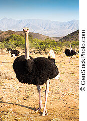 Ostriches near Oudtshoorn, South Africa