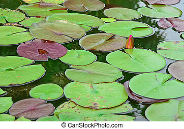 Lotus leaf in the pond