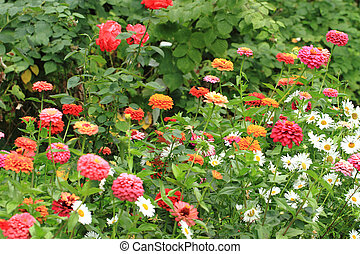 green garden with zinnia flowers
