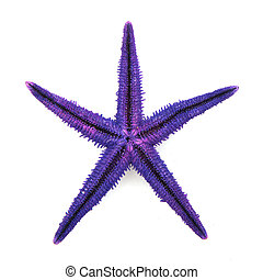Purple starfish beach animal isolated over white background