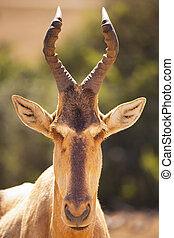 Hartebeest in Addo Elephant National Park, South Africa