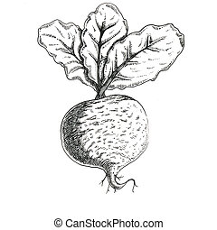 beetroot - ink beetroot isolated hand drawing