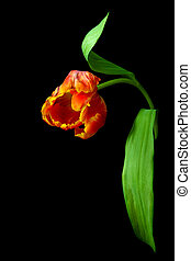 red tulip isolated on a black background