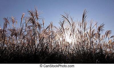 At sunset the silhouette of a reed.