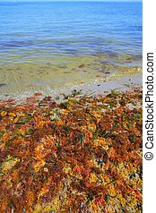 colorful yellow red seaweed sea algae - colorful yellow red...