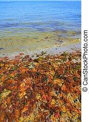 colorido, amarillo, rojo, alga, mar, algas
