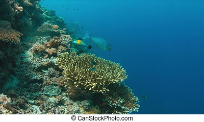 Surgeonfish with cleaner wrasses. 4k - Surgeonfish with...