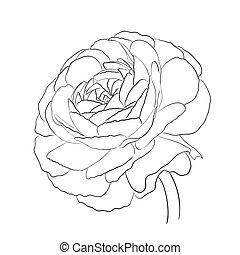 Floral Ranunculus. Garden buttercups - Floral Ranunculus for...