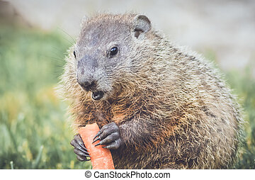 Funny and cute little Woodchuck about to eat a carrot -...