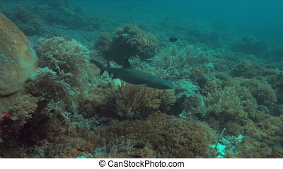 Whitetip reef shark on a coral reef.