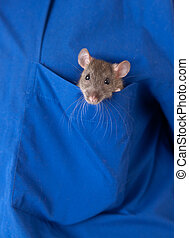 rat in a pocket - Small young gray rat in a pocket