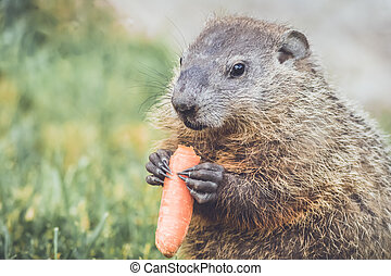 Cute little Woodchuck holding a carrot - Young Groundhog...