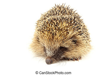 Young European Hedgehog - Young wild European hedgehog, born...