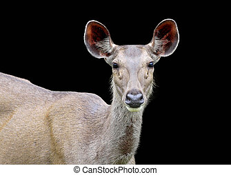 Sambar Deer isolated on a black background